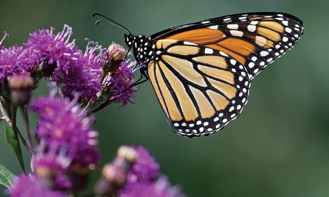 The annual monarch butterfly journey